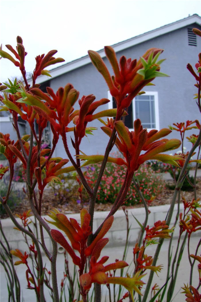Plant photo of: Anigozanthos 'Red Cross'