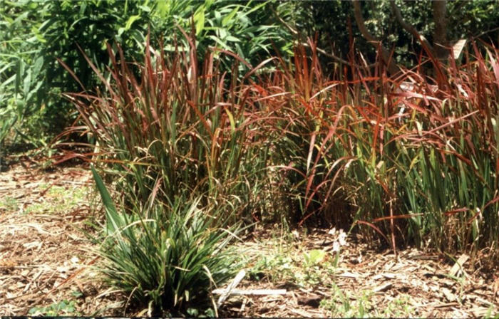Plant photo of: Imperata cylindrica 'Rubra'