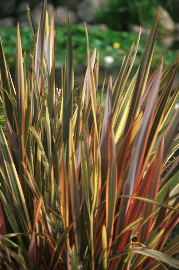 Plant photo of: Phormium tenax 'Rainbow Warrior'