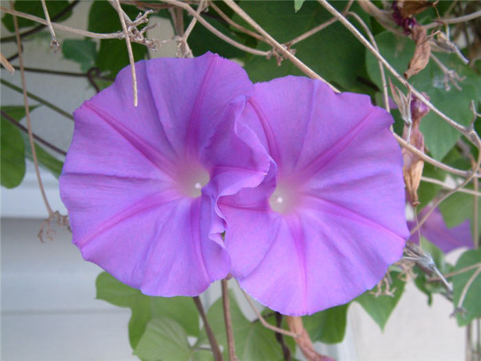 Plant photo of: Ipomoea indica