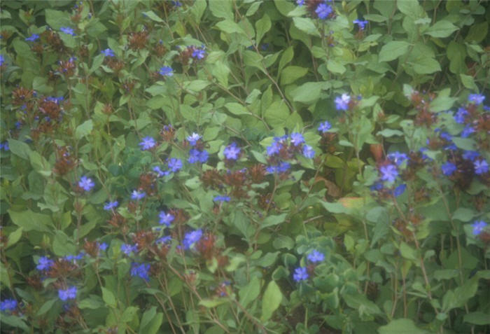 Plant photo of: Ceratostigma plumbaginoides