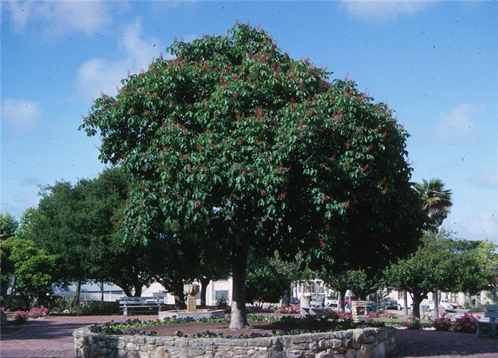 Plant photo of: Aesculus californica