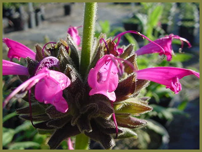 Plant photo of: Salvia spathacea
