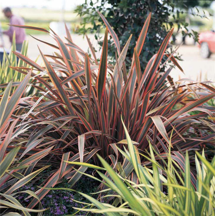 Plant photo of: Phormium 'Pink Stripe'
