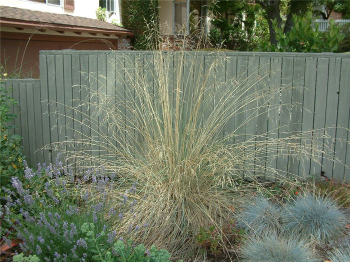 Plant photo of: Festuca californica