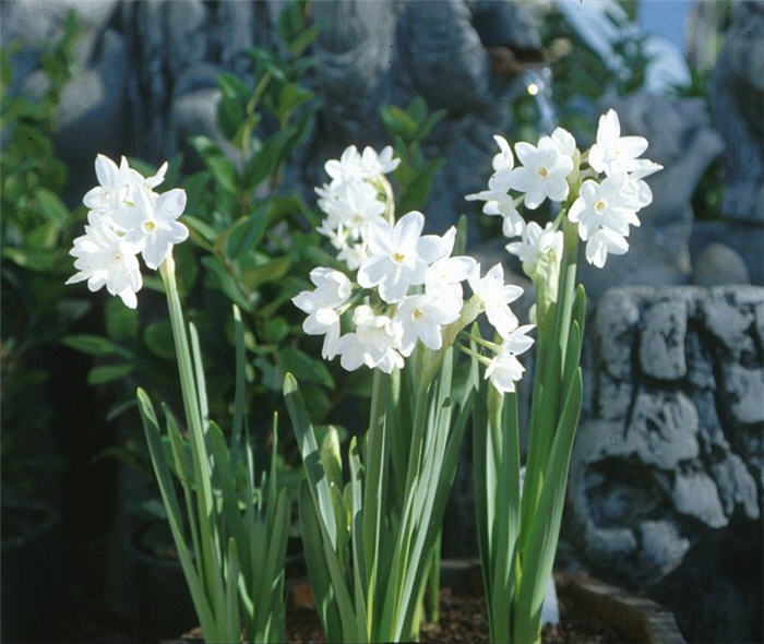 Plant photo of: Narcissus  Assorted Varieties