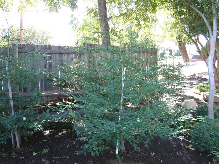 Plant photo of: Sequoia sempervirens 'Aptos Blue'