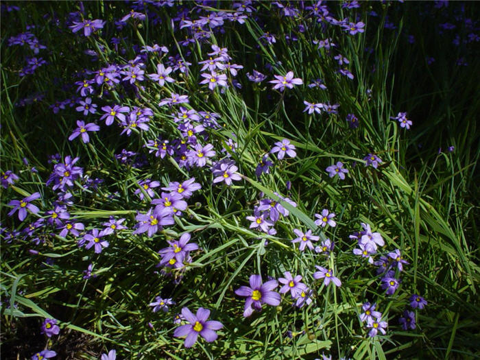 Plant photo of: Sisyrinchium bellum