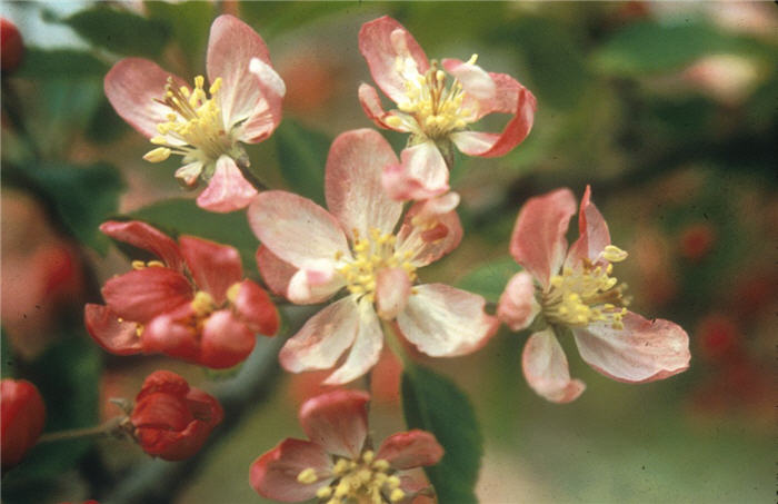 Plant photo of: Malus 'Hillier'