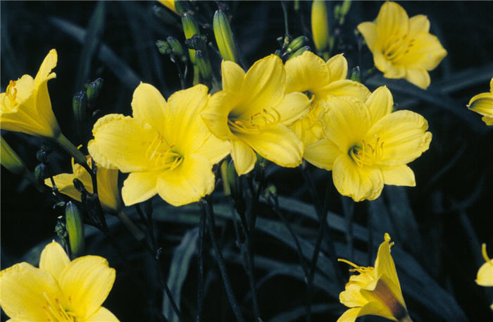 Plant photo of: Hemerocallis 'Bitsy'