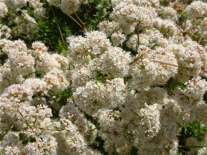 Plant photo of: Eriogonum fasciculatum