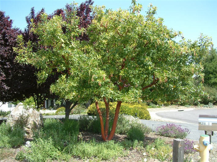 arbutus marina strawberry tree - photo #13