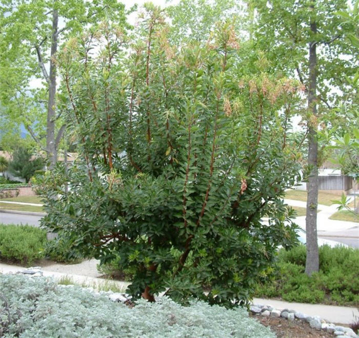 Plant photo of: Arbutus 'Marina'