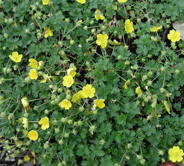Potentilla neumanniana plant photo of potentilla neumanniana mightylinksfo