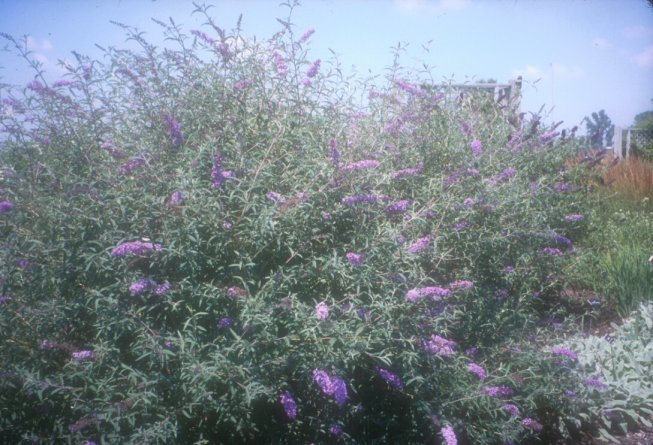 Plant photo of: Buddleja davidii nanhoensis