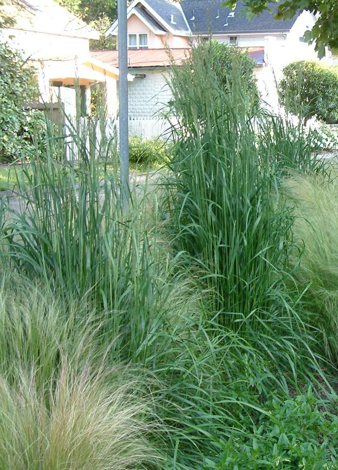 Plant photo of: Calamagrostis X acutiflora 'Karl Foerste