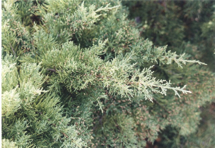 Plant photo of: Juniperus X pfitzeriana 'Glauca'