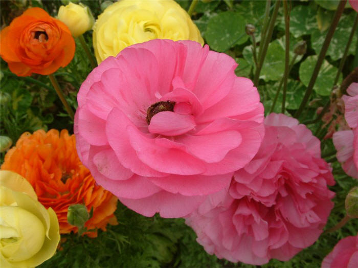 Plant photo of: Ranunculus asiaticus