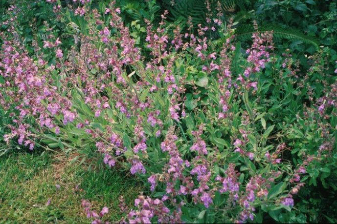 Plant photo of: Salvia officinalis
