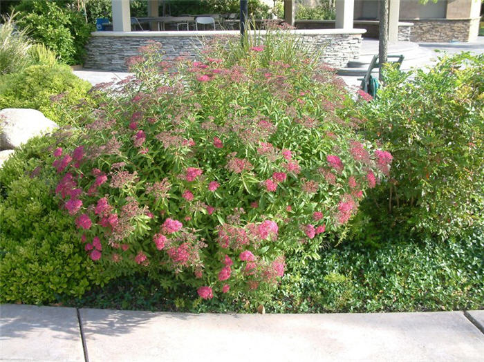 Plant photo of: Spiraea japonica 'Anthony Waterer'