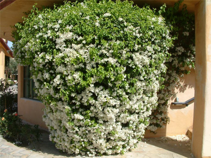 Plant photo of: Bougainvillea 'White Madonna'