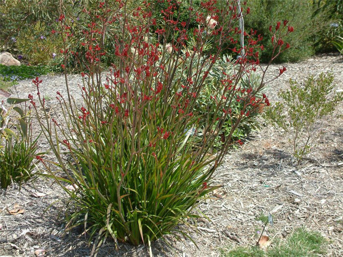 Plant photo of: Anigozanthos hybrids