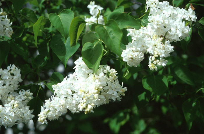 Plant photo of: Syringa vulgaris