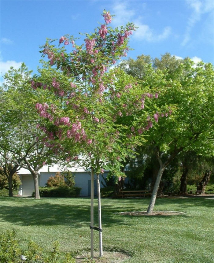 Plant photo of: Robinia X ambigua 'Purple Robe'