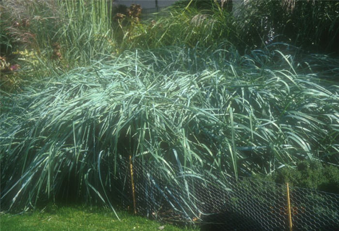 Plant photo of: Leymus arenarius 'Glaucus'