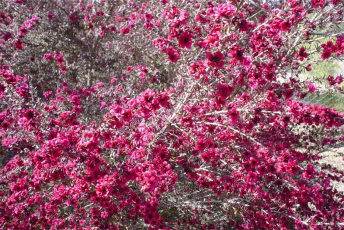Plant photo of: Leptospermum scoparium 'Ruby Glow'