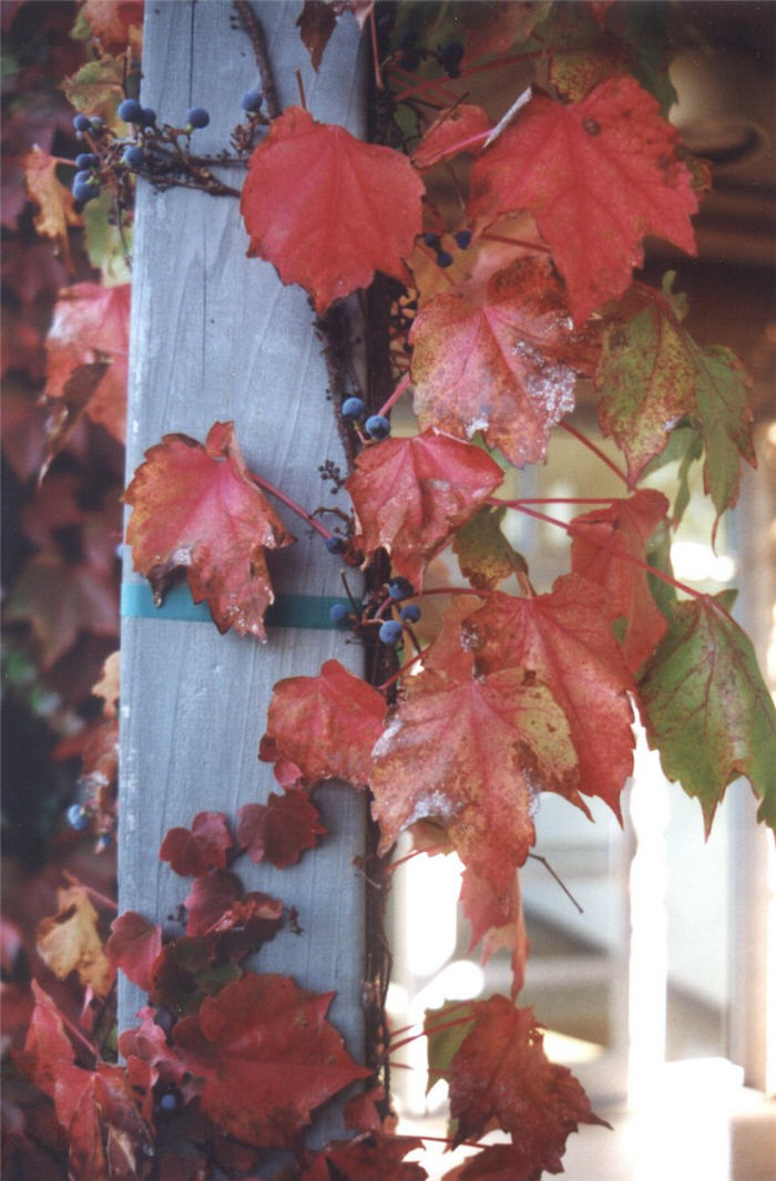 Plant photo of: Parthenocissus tricuspidata