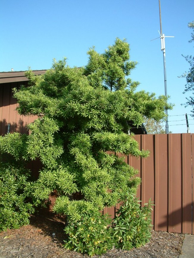 Plant photo of: Podocarpus macrophyllus