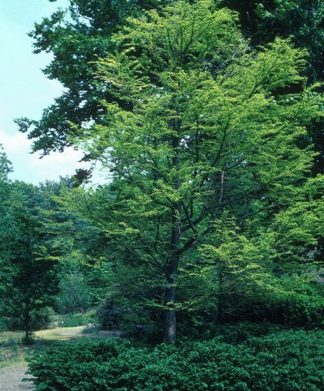 Plant photo of: Taxodium distichum