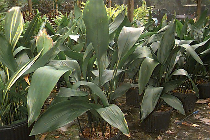 Plant photo of: Aspidistra elatior