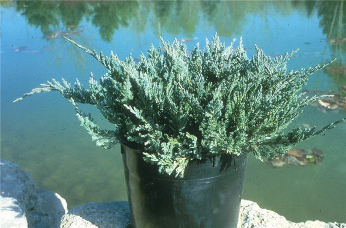 Plant photo of: Juniperus horizontalis 'Blue Chip'