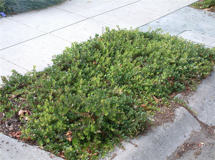 Bearberry Ground Cover