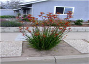 Red Cross Kangaroo Paws