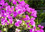 Bougainvillea Selection
