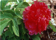 Paeonia 'Fire to Make Immortality
