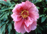 Paeonia  'Flying Swallow in RedDress