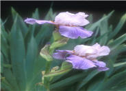 Iris bearded 'Heather Blush'