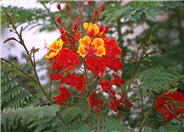 Red Bird Of Paradise, Dwarf Poincia