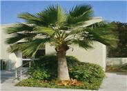 Guadalupe Palm or Fan Palm