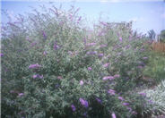 Cushion Butterfly Bush