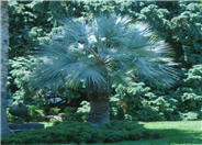 Mexican Blue Palm, Blue Hesper Palm