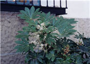 Japanese Fatsia or Aralia