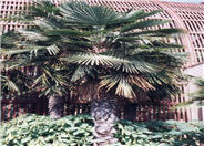 Windmill Palm, Hemp Palm